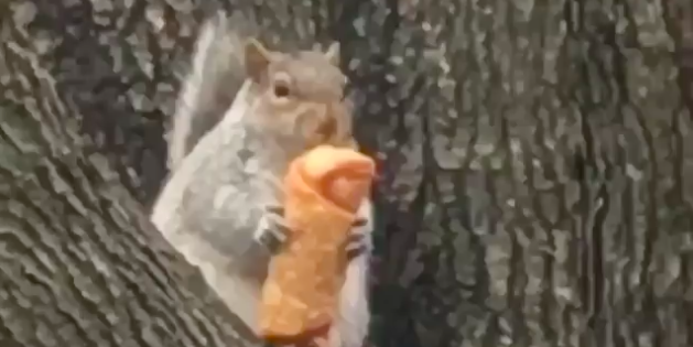 Egg roll-eating squirrel is our latest viral rodent
