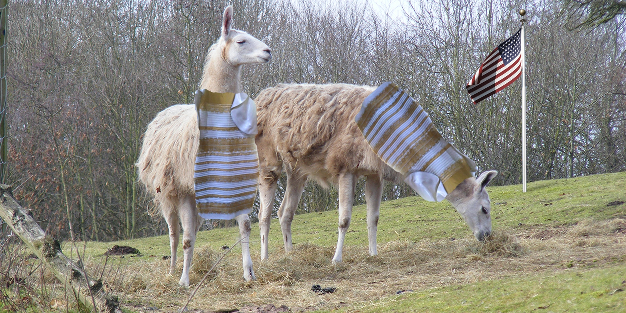 Llamas wearing ugly dresses in front of US flag