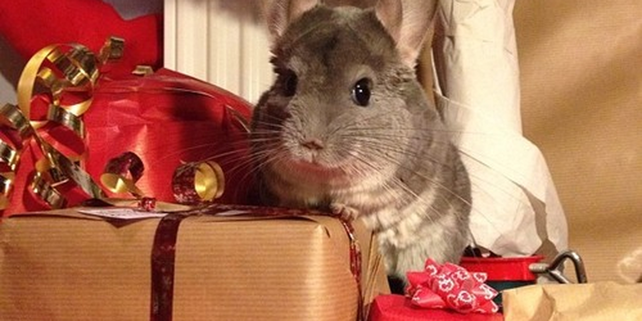 Chinchilla Has All His Holiday Shopping Done  Last...