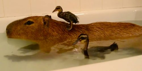 JoeJoe the Capybara and ducks