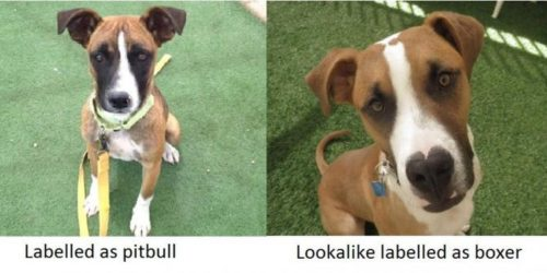 Dog labeled as 'pit bull' vs lookalike labeled as 'boxer'
