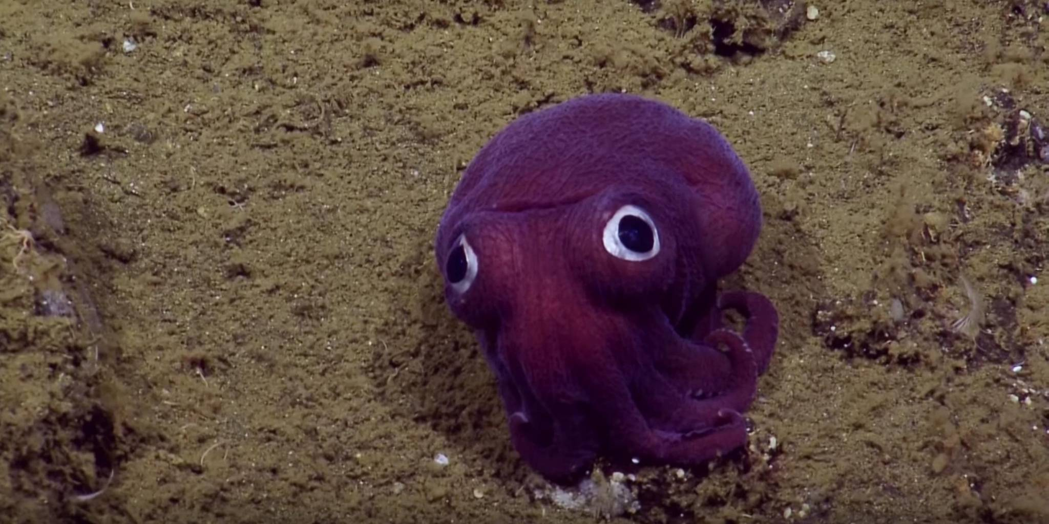 Cuddly, terrifying googly-eyed stubby squid sees you for who you really are