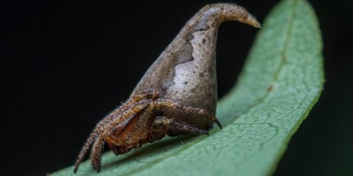 Sorting Hat spider