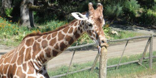 giraffe reporter love