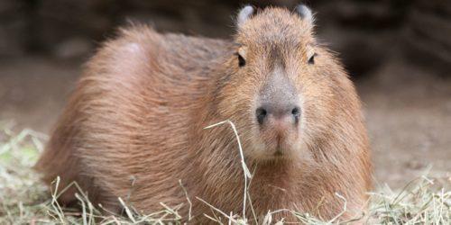 shocked capybara