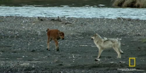 baby bison vs wolf