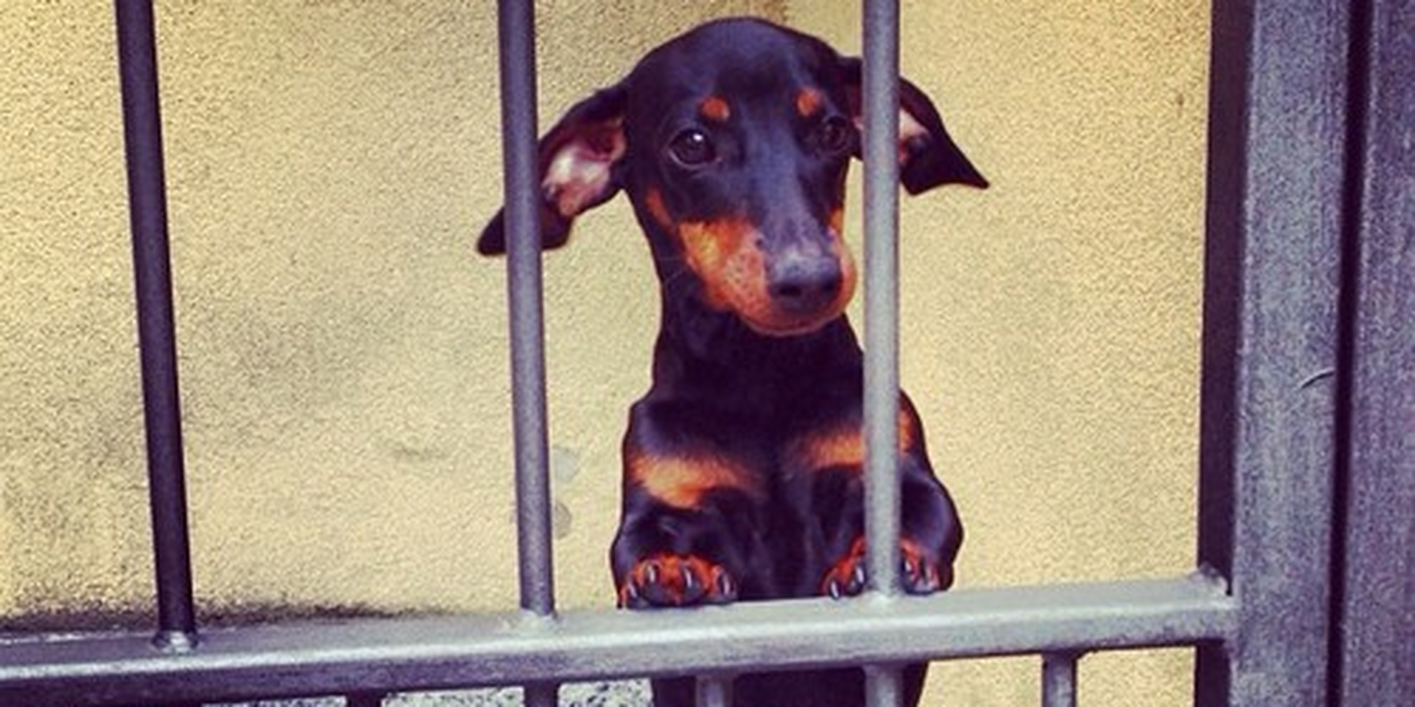 Puppy Jailed for Stopping Hearts  A puppy named...